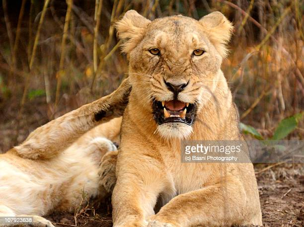 asiatic lioness in her home, gir forests - lioness stock pictures, royalty-free photos & images