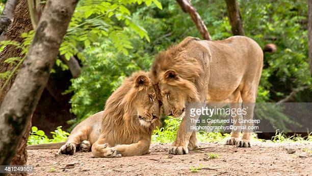 asiatic lions unconditional - gujarat stock pictures, royalty-free photos & images