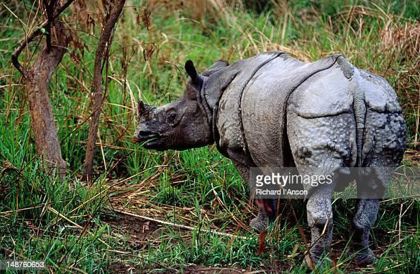 Asiatic one-horned rhinoceros.