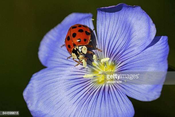 Asiatischer Marienkäfer auf Blüte vom Lein