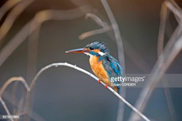 Asie Inde Karnataka Parc national de Nagarhole Martinpêcheur sur une branche