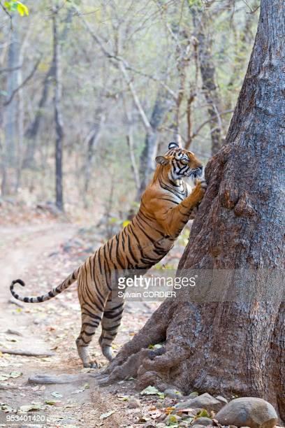 Asie IndeRajasthan Parc national de Rathambore Tigre du Bengale griffant l'arbre pour marquer son territoire
