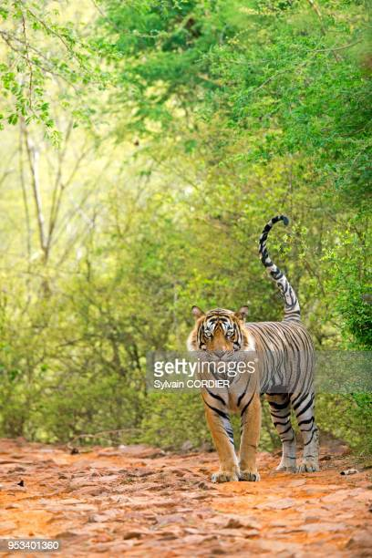 Asie IndeRajasthan Parc national de Rathambore Tigre du Bengale urinant pour marquer son territoire