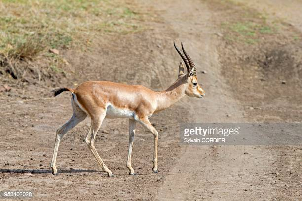 60 Top Chinkara Pictures, Photos and Images - Getty Images