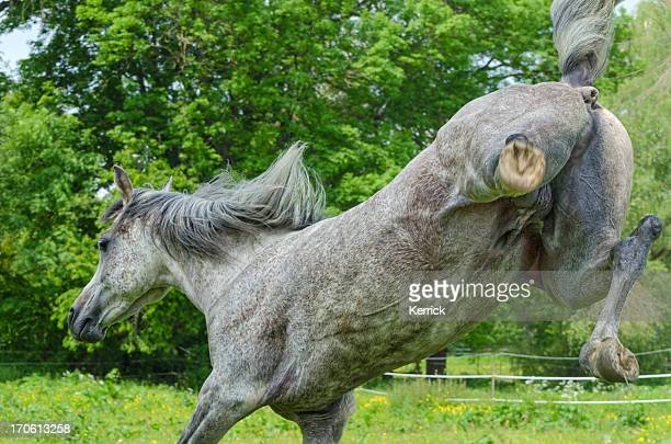 asil arabian horses - stallion kicking for joy - male animal stock pictures, royalty-free photos & images