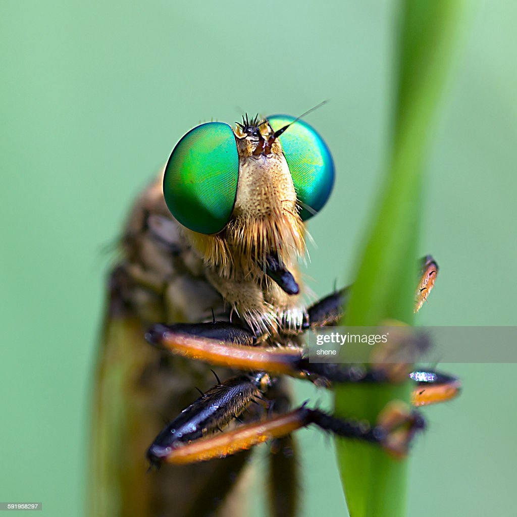 Asilidae's portrait : Stock Photo