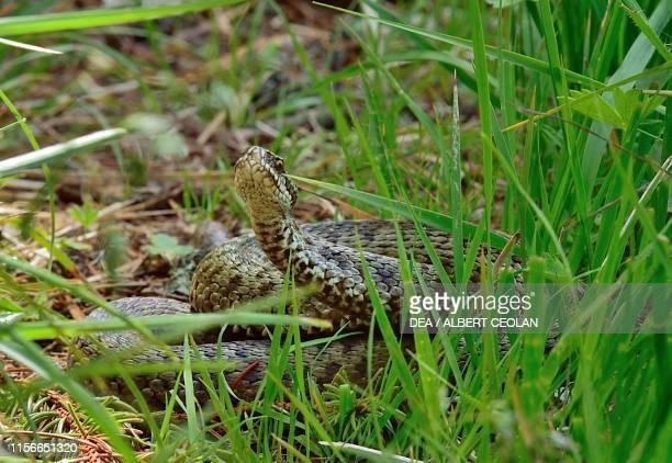 Asp viper in the grass Dolomites TrentinoAlto Adige Italy