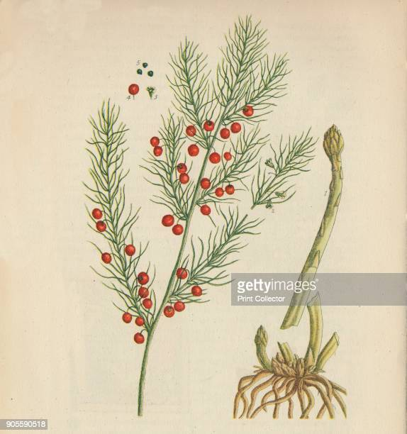'Asparagus' 1947 From British Herbs and Vegetables by George M Taylor [Collins London 1947] Artist Elizabeth Blackwell
