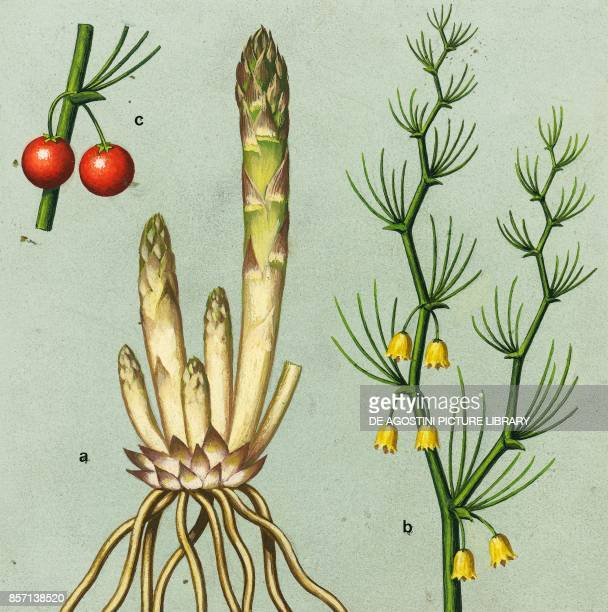 a roots and shoots b flowering branch c fruit drawing