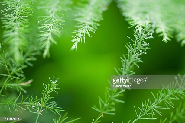 asparagus des fleuristes feuilles