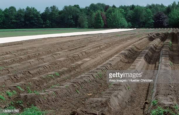 Asparagus field, Bergkamen, North Rhine-Westphalia, Germany