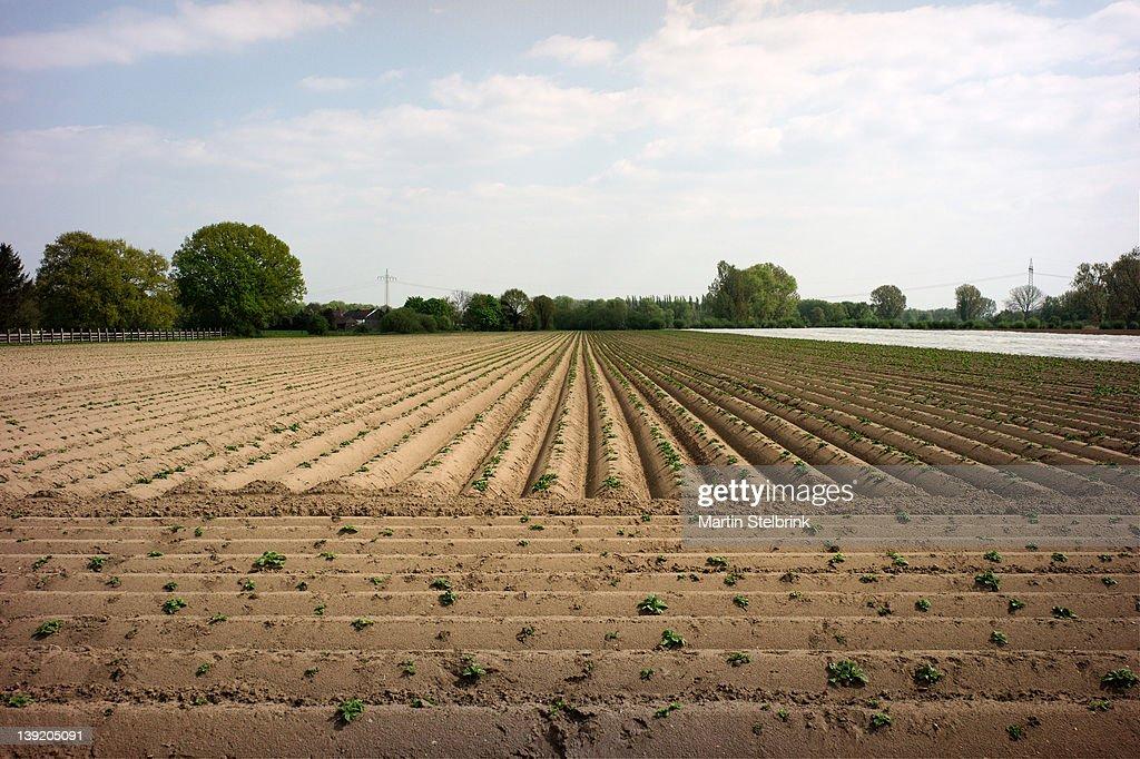 Asparagus field : Stock Photo