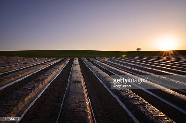 Asparagus fields
