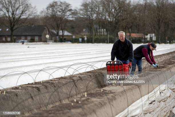 Asparagus grower Jan Berkers harvests asparagus with his son, who would normally be attending school, in Liessel on March 30 amid the outbreak of...