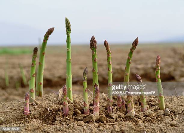 Asparagus growing in field, Kijimadaira, Nagano Prefecture, Japan