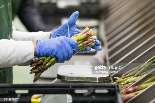 asparagus harvest - harvesting stock pictures, royalty-free photos & images