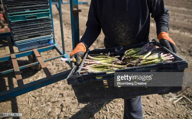 asparagus harvest - kent england stock pictures, royalty-free photos & images