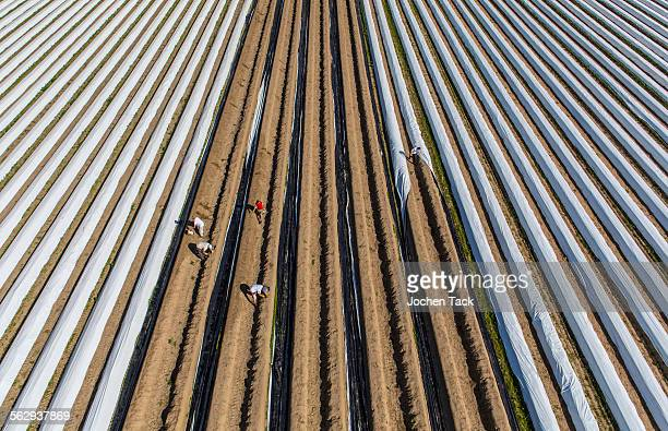 Asparagus harvest, workers covering asparagus dams with plastic sheets, Walbeck, Niederrhein or Lower Rhine region, North Rhine-Westphalia, Germany