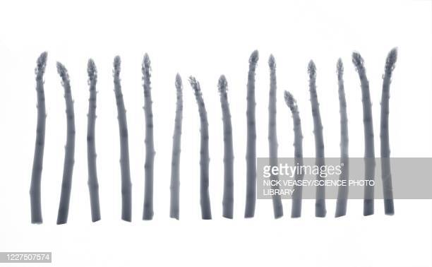 asparagus in a row, x-ray - spear stock pictures, royalty-free photos & images