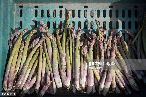 Asparagus is collected in a field at Broadlands Farm near Braunton on April 27 2016 in Devon England Generally a spring vegetable the growing of...