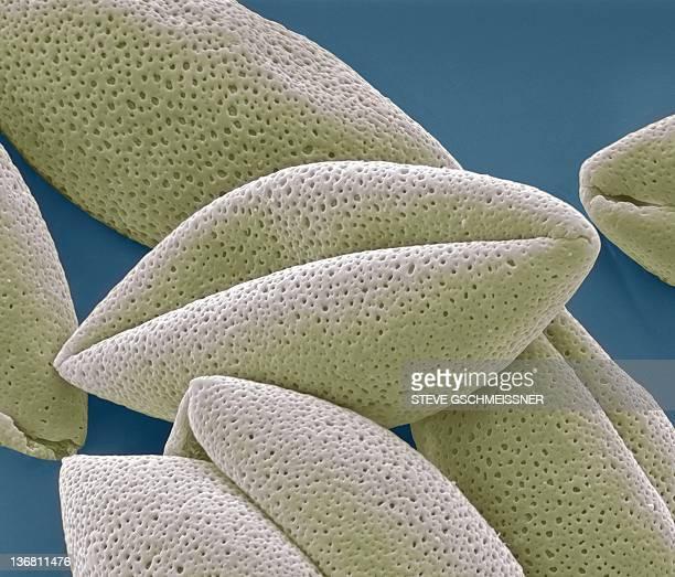Asparagus pollen grains, SEM