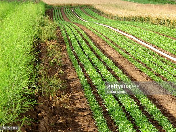 Asparagus, rucola and wheat fields