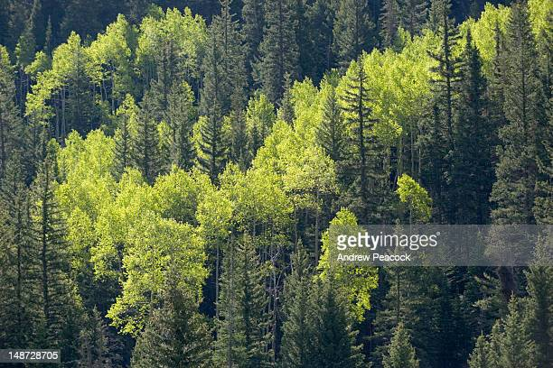 Aspen and pine trees.