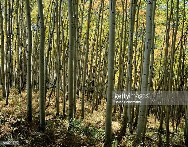 Aspen Forest, Colorado, USA