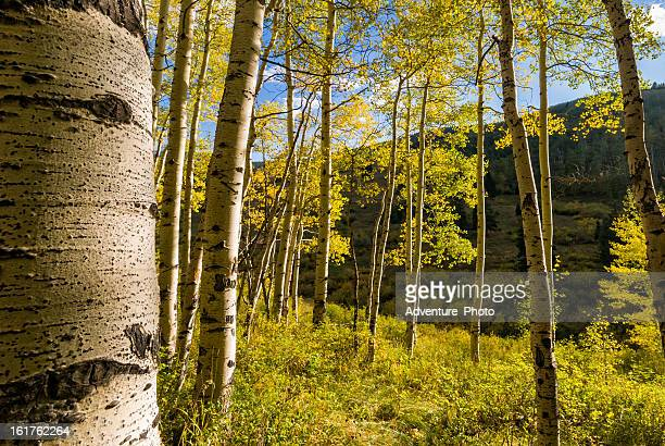 aspen forest fall colors - beaver creek colorado stock pictures, royalty-free photos & images