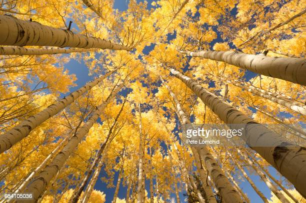 aspen forest looking up - aspen tree stock pictures, royalty-free photos & images
