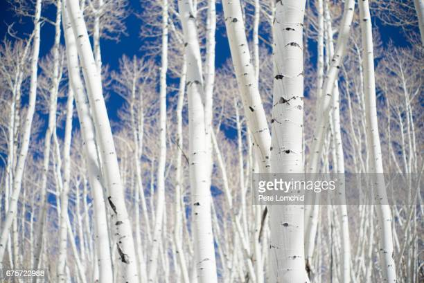 aspen forest pattern, colorado - aspen tree stock pictures, royalty-free photos & images