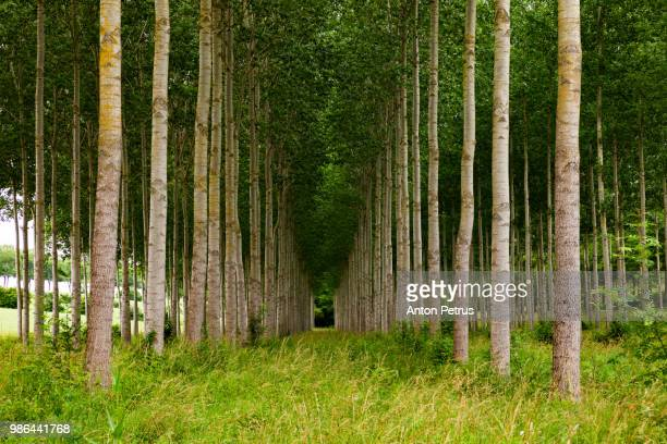 aspen forest planted in straight rows, france - forêt photos et images de collection