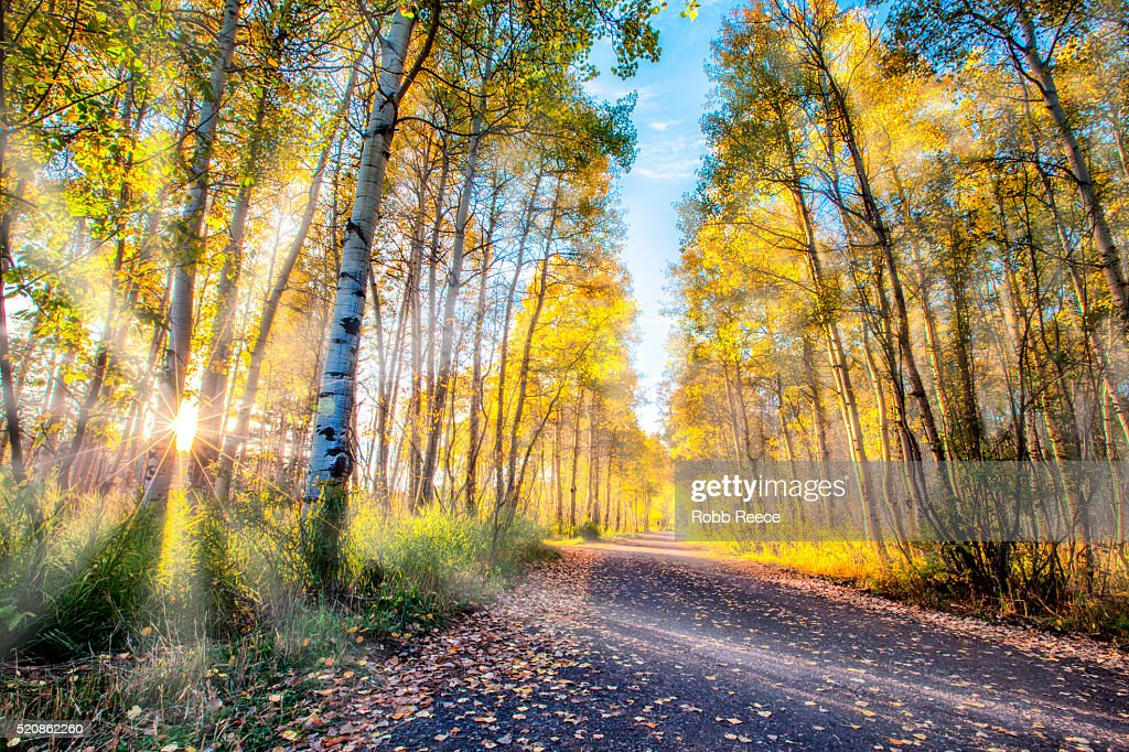 Aspen forest with yellow autumn leaves, sunshine and fog : Stock Photo