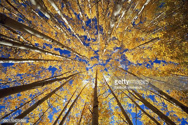 aspen (populus sp.) grove, autumn, low angle view - grove stock pictures, royalty-free photos & images