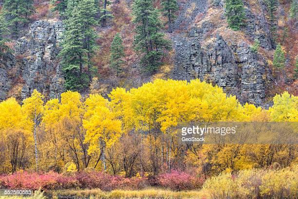 Aspen grove in autumn, Idaho