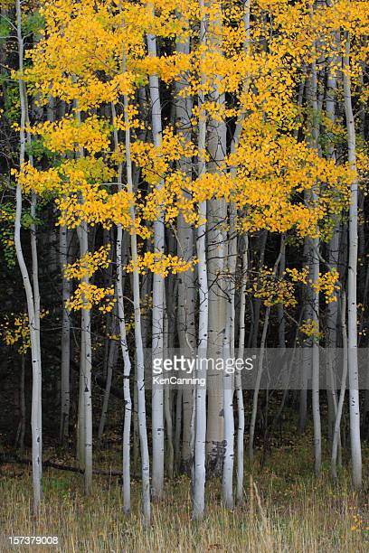 aspen grove in autumn - aspen tree stock pictures, royalty-free photos & images