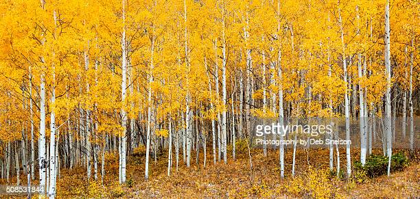 aspen grove in autumn - grove_(nature) stock pictures, royalty-free photos & images