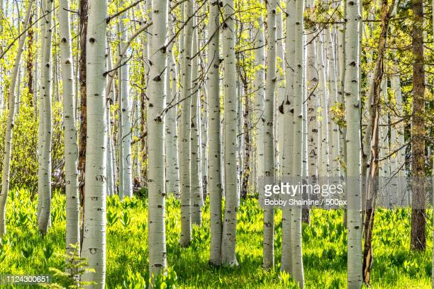aspen grove - steamboat springs colorado stock photos and pictures