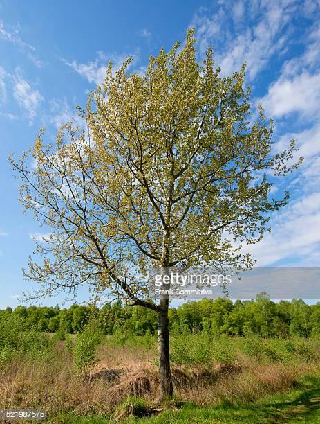 Aspen -Populus tremula-, Lower Saxony, Germany