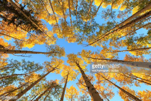 aspen, skyward - treetop stock pictures, royalty-free photos & images