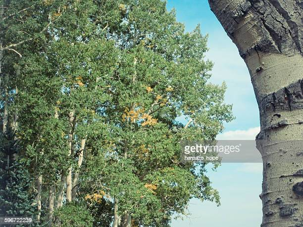 aspen tree and trunk - hope imagens e fotografias de stock