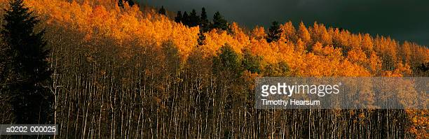 aspen tree forest in autumn - timothy hearsum stock photos and pictures