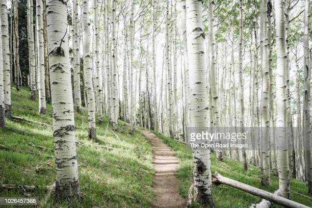 aspen tree forest, lockett meadow, flagstaff, arizona, usa - flagstaff arizona stock pictures, royalty-free photos & images