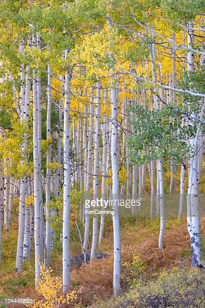 Aspen Tree Grove in Autumn