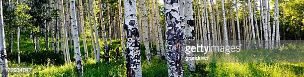 aspen tree grove panorama - aspen colorado stock photos and pictures