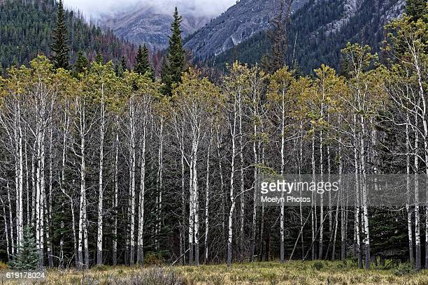 aspen tree grove-bow valley parkway - grove stock photos and pictures