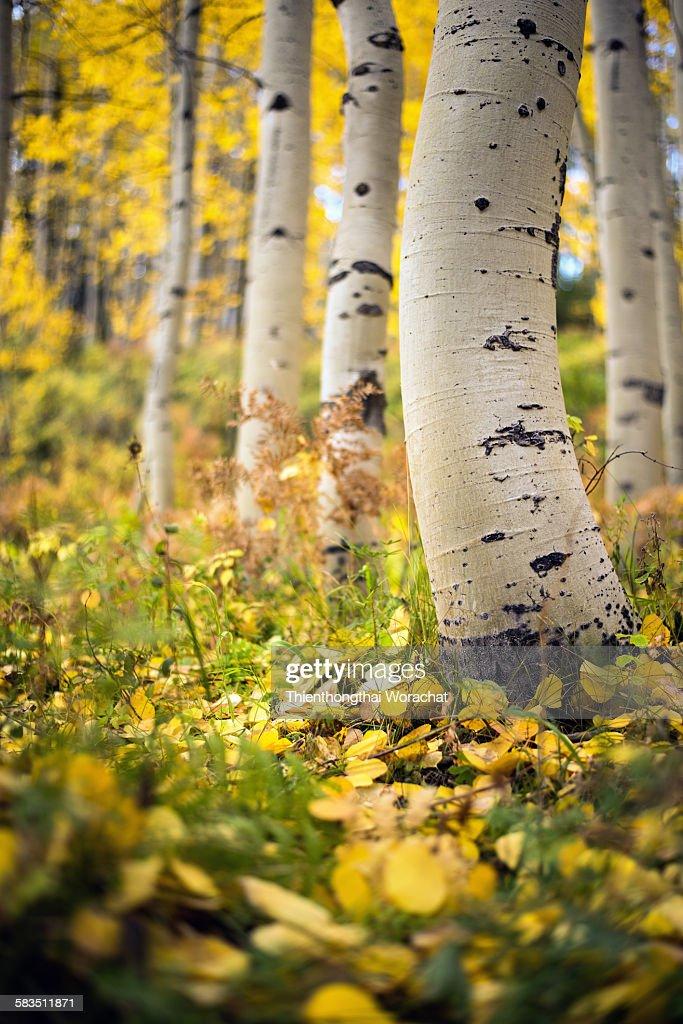 Aspen tree in colorado : Stock Photo
