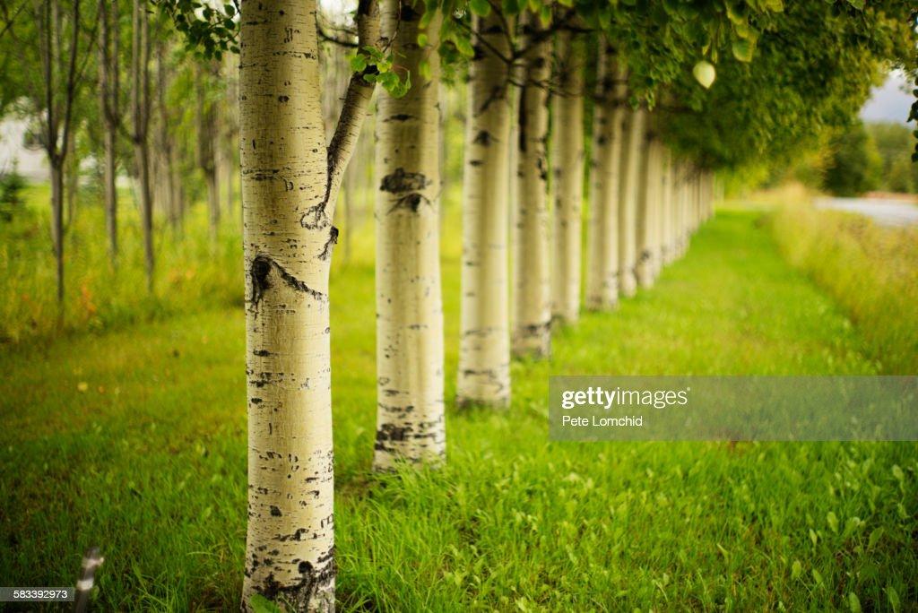 Aspen tree in line : Stock Photo