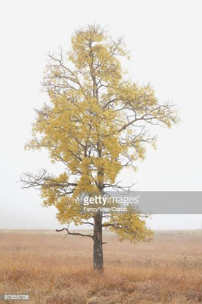 aspen tree - climat stock pictures, royalty-free photos & images