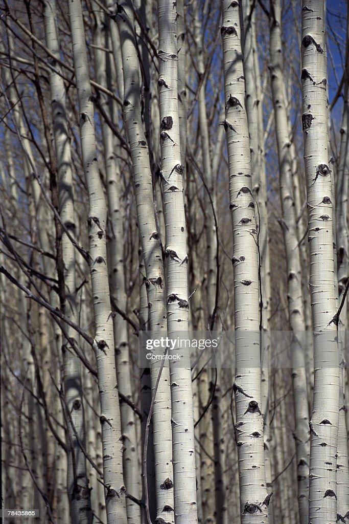 Aspen trees , Colorado : Stockfoto